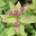 Spiraea japonica (bud s4).jpg