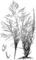 Sporobolus airoides HC-1950.png