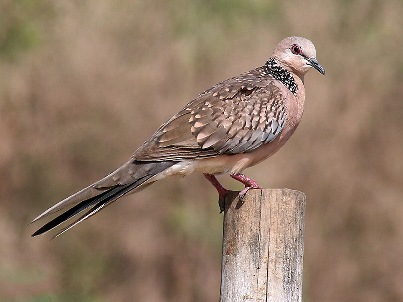 Spotted Dove I- Puri IMG 9243