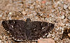 Spotted Small Flat-Agumbe.jpg