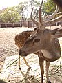 Spotted deer close-up.jpg
