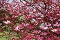 Spring-pink-flower-blooms - West Virginia - ForestWander.jpg