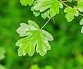 Spring leaf of Acer campestre.jpg