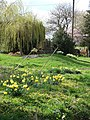 Spring springs and daffodils, Gagingwell - geograph.org.uk - 154241.jpg