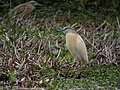 Sqacco Heron, Lake Ravelobe, Ankarafantsika National Park, Madagascar (4308956975).jpg