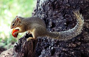 Lake Manyara National Park - Squirrel eating a fruit in Lake Manyara National Park, Tanzania