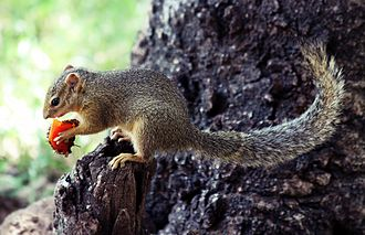 Lake Manyara National Park - Squirrel eating a fruit in Lake Manyara National Park, Tanzania