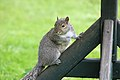 Squirrel (2518868325).jpg