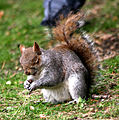 Squirrel in St. James's Park 3.jpg