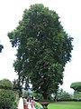 Srinagar - Nishat Mughal Gardens 06.JPG