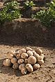 Stärkekartoffel Amflora 4.jpg