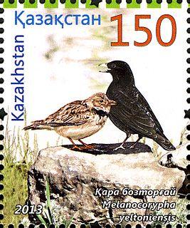 Black lark species of bird