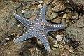 Starfish 04 (paulshaffner).jpg