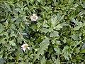 Starr-020108-0002-Erigeron karvinskianus-leaves and flowers-Makawao near cemetery-Maui (24546040275).jpg