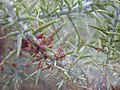 Starr-020701-0003-Ulex europaeus-Tetranychus lintearrus gorse biocontrol webbing-HNP nr research-Maui (23922352074).jpg
