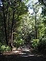Starr-041113-0628-Eucalyptus sp-habit-Makawao Forest Reserve-Maui (24626128961).jpg