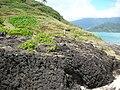 Starr-050419-6534-Panicum fauriei var carteri-habitat-Mokolii-Oahu (24652744371).jpg
