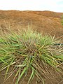 Starr-050525-1921-Eragrostis variabilis-habit-Moaulanui-Kahoolawe (24466519910).jpg