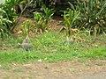 Starr-060810-8516-Cordyline fruticosa-habit view guinea fowl-Waimanalo-Oahu (24837894526).jpg