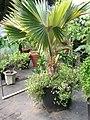 Starr-061108-9777-Pritchardia arecina-in pot-Hoolawa Farms-Maui (24868666855).jpg