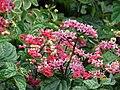 Starr-090417-6121-Clerodendrum x speciosum-flowers-Haliimaile-Maui (24584534339).jpg