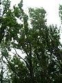 Starr-090521-9229-Fraxinus uhdei-canopy-Polipoli-Maui (24930351766).jpg