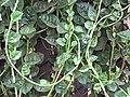 Starr-090806-3830-Basella alba-vining habit-Wailuku-Maui (24603756049).jpg