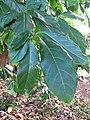 Starr-091104-0677-Terminalia megalocarpa-leaves-Kahanu Gardens NTBG Kaeleku Hana-Maui (24619826359).jpg