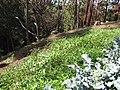 Starr-091108-9388-Citrullus lanatus-habit trailing into gulch-Olinda-Maui (24871249742).jpg