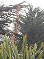 Starr-100503-5854-Phormium tenax-fruit spike-Olinda-Maui (24944079971).jpg
