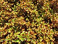 Starr-100623-7745-Coprosma sp-repens perhaps potted plants in nursery-Pukalani Plant Company Pulehu-Maui (25015902986).jpg