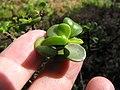 Starr-110307-2005-Portulacaria afra-leaves-Kula Botanical Garden-Maui (24959255192).jpg
