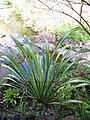 Starr-110307-2031-Phormium tenax-habit-Kula Botanical Garden-Maui (24709793589).jpg