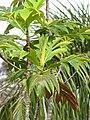 Starr-110330-3598-Artocarpus altilis-leaves-Garden of Eden Keanae-Maui (24712832189).jpg