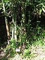 Starr-110330-4012-Gigantochloa atter-habit with plant label-Garden of Eden Keanae-Maui (24450422534).jpg