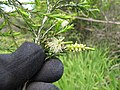 Starr-110331-4478-Melaleuca sp-flowers and leaves-Shibuya Farm Kula-Maui (24454922053).jpg
