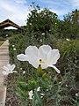 Starr-120504-5536-Argemone glauca-flower and planting-Maui Nui Botanical Garden-Maui (24846552980).jpg