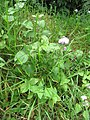 Starr-130411-3952-Ageratum houstonianum-flowering habit-Pololei Haiku-Maui (24579319474).jpg