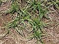 Starr-130617-4979-Cyperus rotundus-habit-Kealia Pond NWR-Maui (25117882311).jpg
