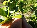 Starr-140119-3196-Citrus aurantifolia-leaf with Citrus Swallow tail butterfly larva-Hawea Pl Olinda-Maui (25121030502).jpg