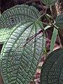 Starr-140909-1771-Clidemia hirta-leaves with Megalagrion blackburni-Wailua-Maui (24950283130).jpg