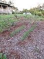 Starr-150310-0438-Triticum aestivum-habit-Hawea Pl Olinda-Maui (24971774210).jpg