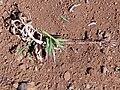 Starr-180820-0339-Chrysopogon aciculatus-seeding habit-Kipahulu Forest Reserve-Maui (43988697874).jpg