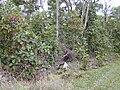 Starr 020501-0054 Cinchona pubescens.jpg