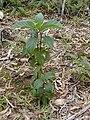 Starr 020501-0062 Cinchona pubescens.jpg