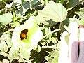 Starr 030525-0013 Hibiscus ovalifolius.jpg
