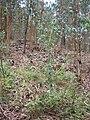 Starr 050815-7400 Rubus niveus f. a.jpg