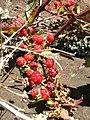 Starr 050817-3895 Rubus argutus.jpg