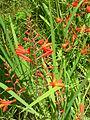 Starr 050817-3944 Crocosmia x crocosmiiflora.jpg