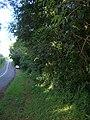 Starr 050818-4166 Syzygium jambos.jpg